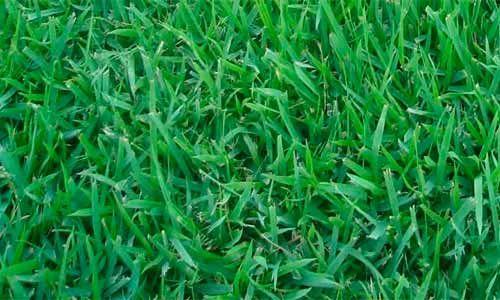 Grama Esmeralda rápida adaptação ao solo